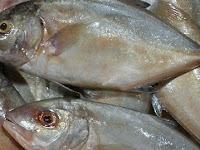 Mau Tau Budidaya Ikan Kuwe ? Begini Caranya