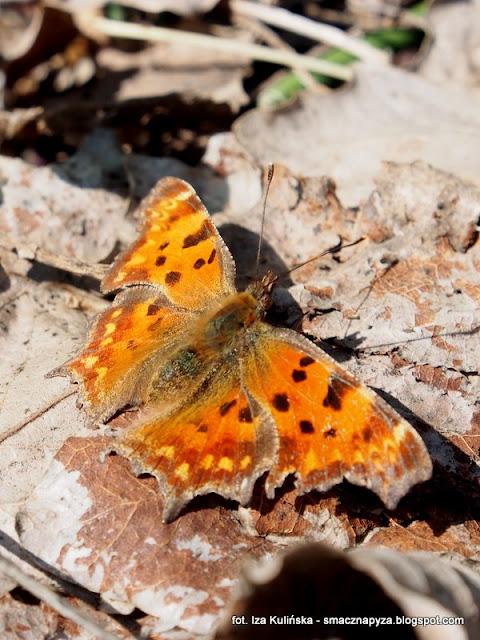 motyl, owady, fauna, las legowy, legi, nad rzeka, warszawa, spacer, wycieczka, piekny dzien, na grzyby, grzybobranie