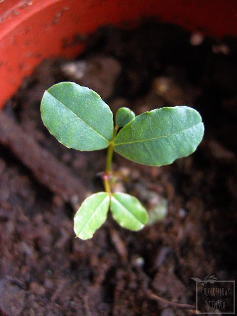 Szarańczyn strąkowy, karob, drzewo karobowe z nasion, pestki - łatwy przepis na roślinę z nasionka. Jak wysiać szarańczyna strąkowego?