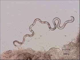 Nematode aquarium fish parasite