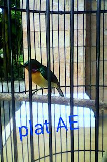 burung kolibri wulung