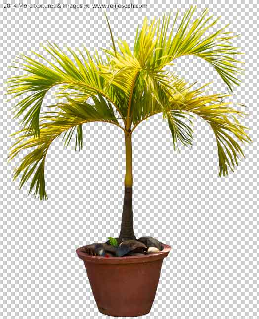 PNG Betel 0nut palm tree 00001