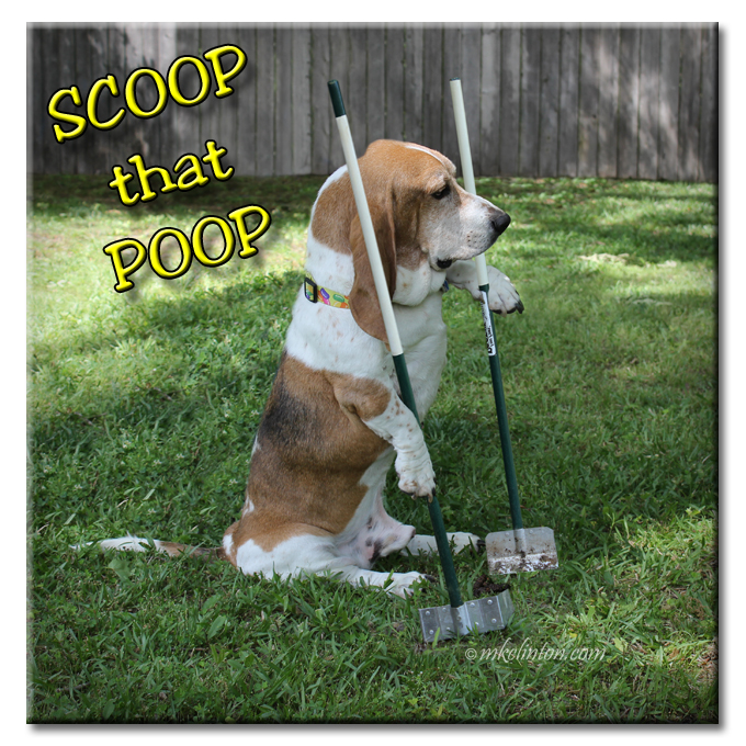 Basset using pooper scooper