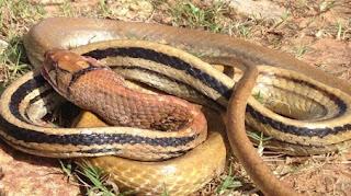 Arti Mimpi Dililit ular Di Leher