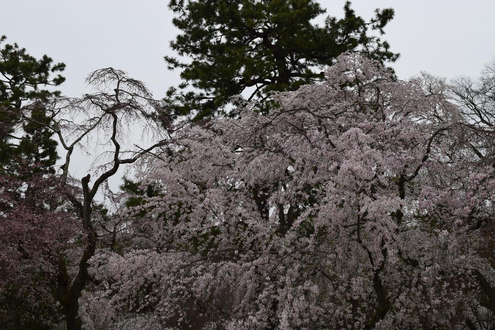 Imperial palace sakura