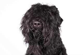 Everything about your Black Russian Terrier