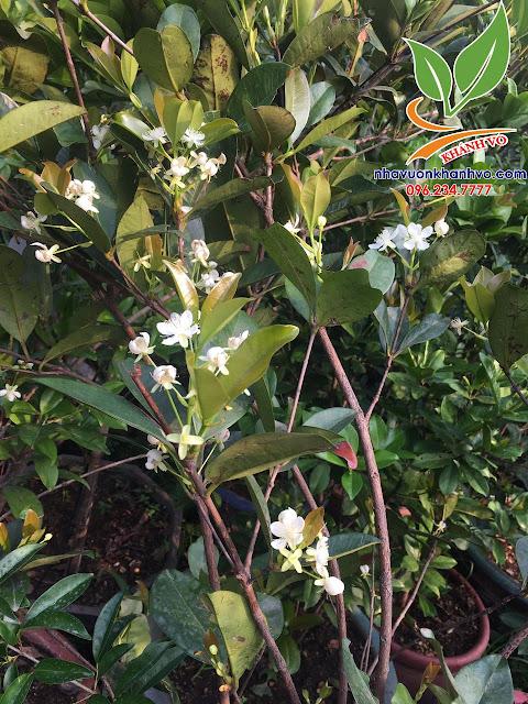 Cherry brazil đã trồng thành công ở Việt Nam 594eb47cdab538eb61a4_result