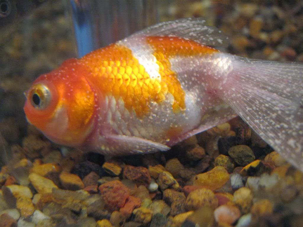 Peces y plantas ornamentales ichthyophthirius multifiliis for Enfermedades de peces goldfish