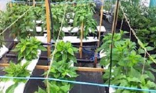 resep menanam cabe hidroponik,artikel cara menanam tanaman hidroponik,hidroponik cabe sederhana,cara menanam cabe rawit hidroponik,