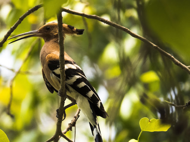 Hoopoe bird at Choeung Ek Killing Fields in Cambodia
