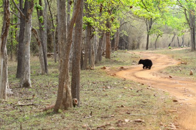 Sloth bear roams the jungles of Tadoba Tiger Reserve, India