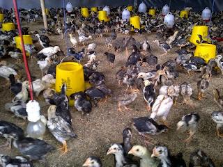 Perancangan Memulai Beternak Ayam