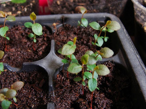 how to grow blueberries from seed the garden of eaden