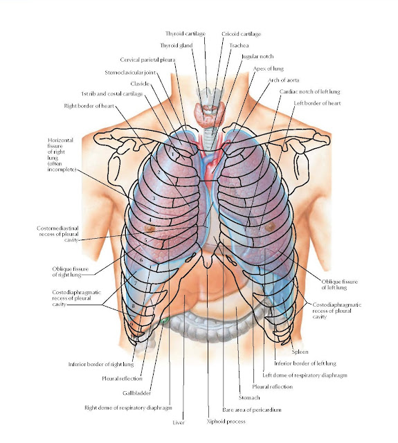 Topography of Lungs: Anterior View Anatomy  Thyroid cartilage, Thyroid gland, Cervical parietal pleura, Sternoclavicular joint, Clavicle 1st rib and costal cartilage, Right border of heart, Cricoid cartilage, Trachea, Jugular notch, Apex of lung, Arch of aorta, Cardiac notch of left lung, Left border of heart, Inferior border of right lung, Pleural reflection, Gallbladder, Right dome of respiratory diaphragm, Liver, Spleen, Inferior border of left lung, Left dome of respiratory diaphragm, Pleural reflection, Stomach, Bare area of pericardium, Xiphoid process, Oblique fissure of left lung, Costodiaphragmatic recess of pleural cavity, Oblique fissure of right lung, Costodiaphragmatic recess of pleural cavity.