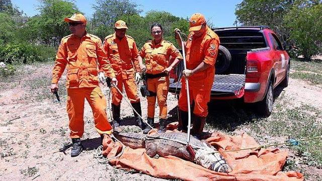 Em Piranhas, jacaré  é capturado pelo corpo de bombeiros