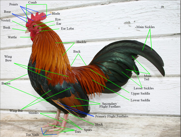 Parts of Chicken / Mengenal bahagian-bahagian ayam | Ayam ...