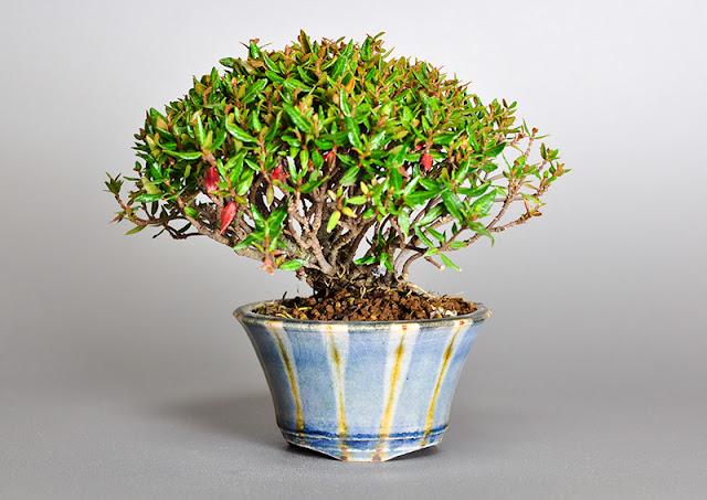 チリメンカズラ盆栽-M1(縮緬葛盆栽)Chirimen kazura bonsai
