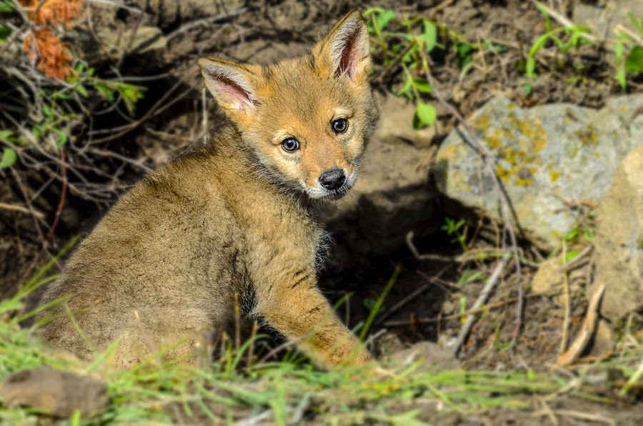 Coyote Pups Images