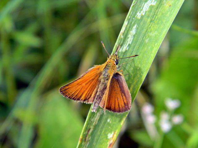 motyl, źdźbło, las, owad