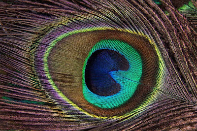 Peafowl Feathers Hd Wallpapers