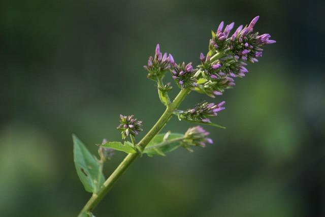 Phlox Amplifolia