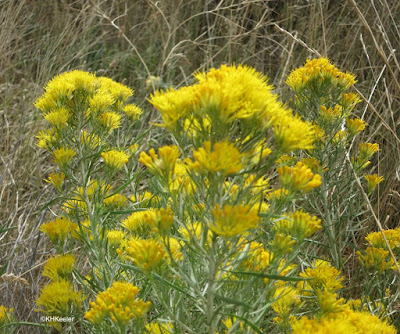 rabbitbrush in flower