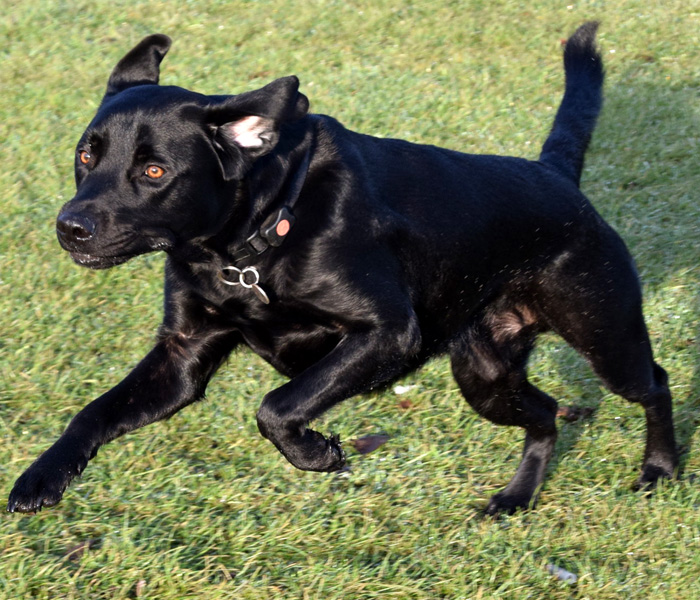 Black Labrador Retriever Cross