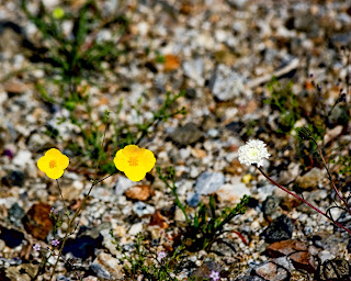 Anza Borrego Desert State Park California Wildflowers