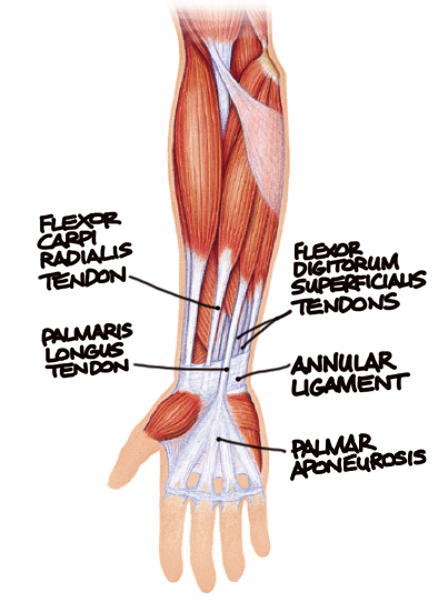 if both the flexor carpi radialis tendon and the palmaris long tendon are  visible, it's easy to tell one from the other