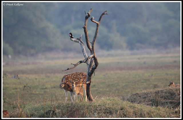 Spotted Deer at Bharatpur