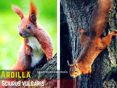 Ardilla, Sciurus vulgaris, presente en la Península Ibérica