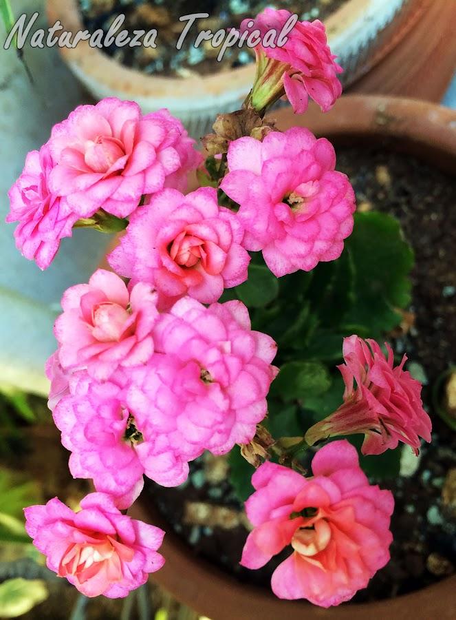 Flores rosas con numerosos pétalos de una variedad de la suculenta Kalanchoe blossfeldiana