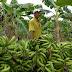 Governo implantará áreas de controle de risco de pragas em Acrelândia