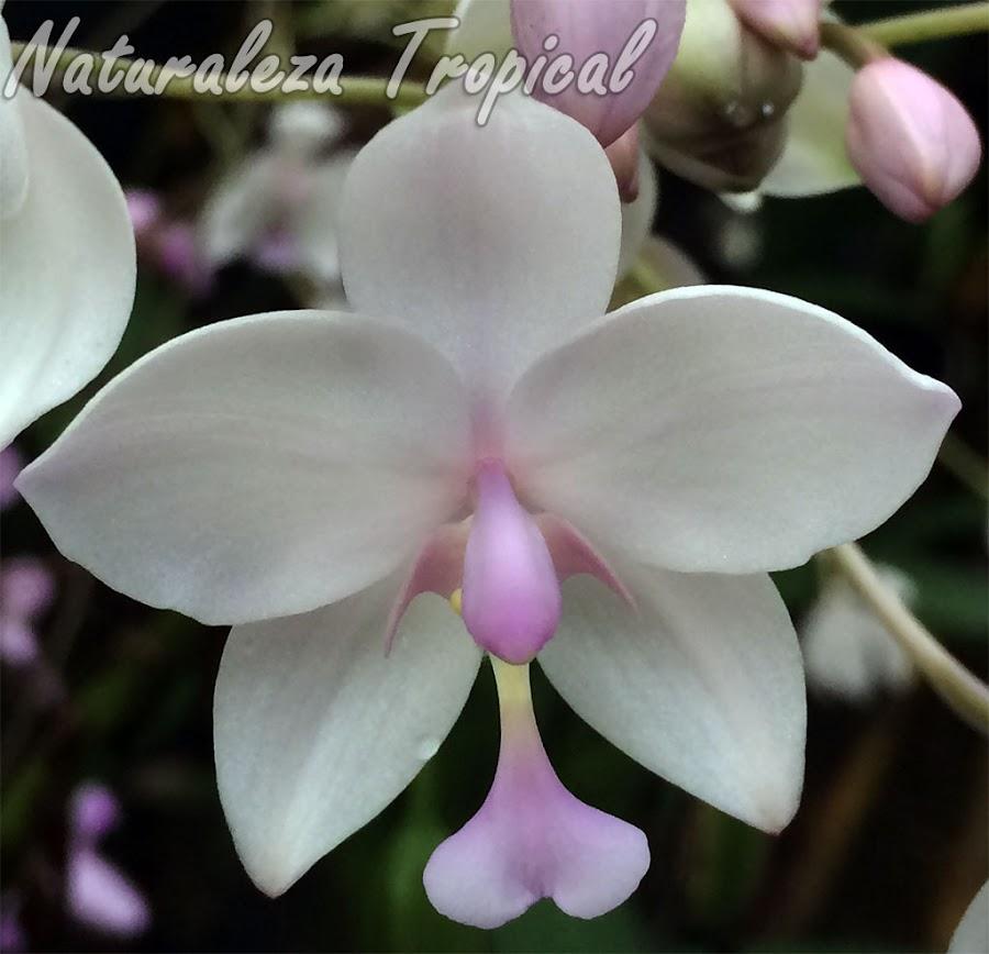 Orquídea terrestre con colores variables en las flores (generalmente rosadas o púrpuras). Flor de la variedad blanca. Spathoglottis plicata var alba.