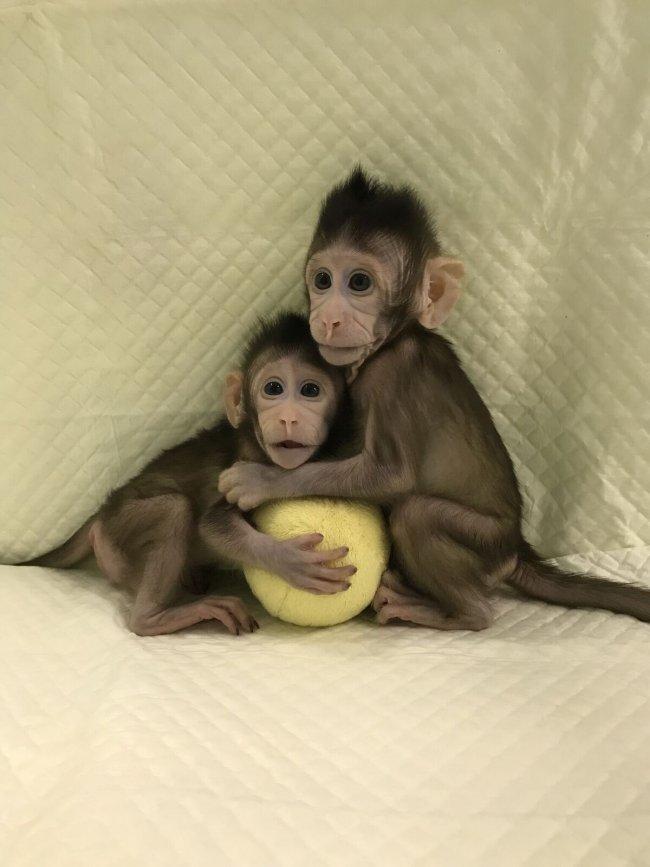 Logran clonar a dos monos con la misma fórmula que a Dolly