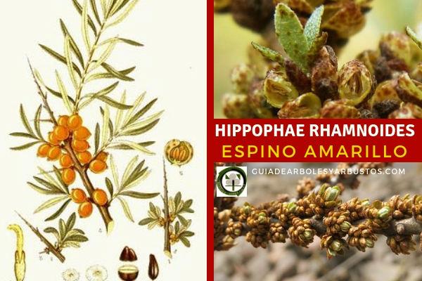 Hippophae rhamnoides, es un arbustos de 2 m de altura, de hojas estrechas y plateadas.