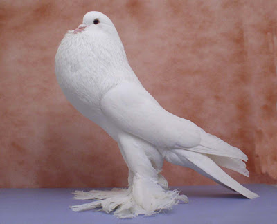 fancy white pigeons