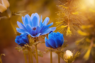 bunga anemon biru