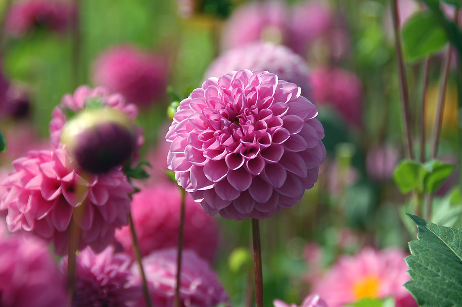 dalia (Dahlia) Decorative Group