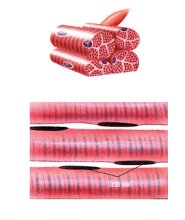 Ciri-ciri jaringan otot lurik