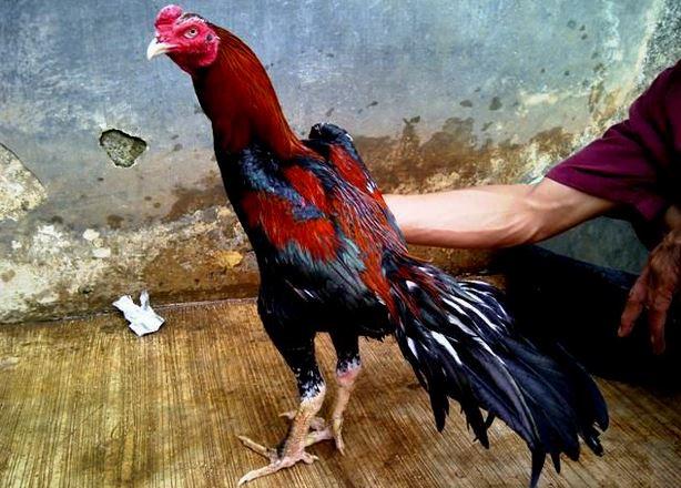 Ayam Aduan Terbaik Saat ini Bukan Lagi Bangkok Asli ~ Hobi Ayam