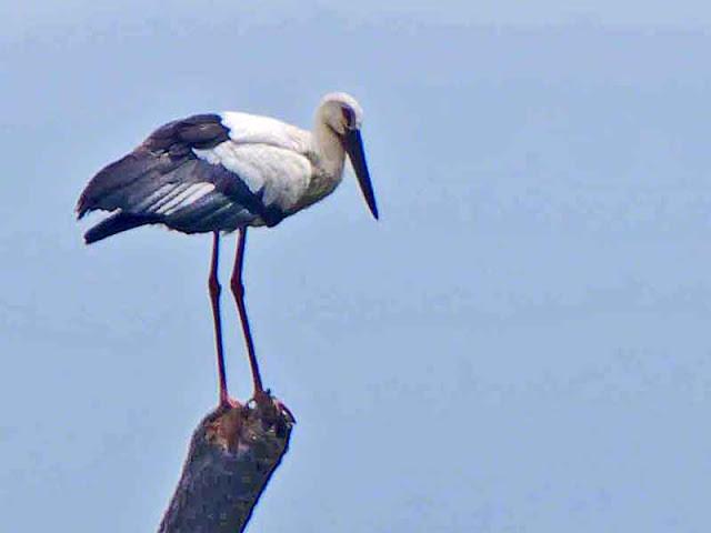 bird, Oriental White Stork, Okinawa