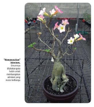 Tukang Taman Surabaya Cara mudah memelihara Bunga Adenium