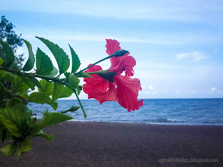Red Flower Hibiscus Rosa Sinensis Or Chinese Hibiscus Blooming By The Beach At Umeanyar Village, North Bali, Indonesia