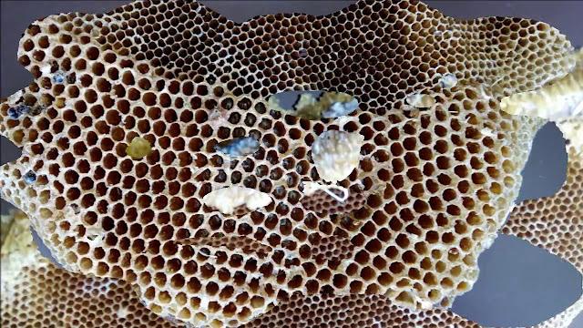 honey bee | मधुमक्खियों की रोचक जानकारियां
