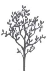 Mengenal Mangrove : Aegiceras corniculatum (L.) Blanco
