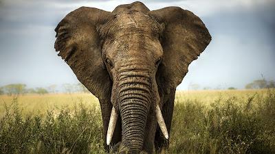 الفيل الأفريقي - African Elephant