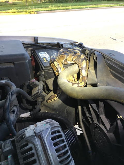 Woman Shocked To Find A Giant Python In Her Car (Photos)