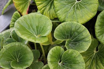 5 Bahan herbal untuk meningkatkan daya ingat otak secara alami