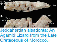 https://sciencythoughts.blogspot.com/2016/10/jeddaherdan-aleadonta-agamid-lizard.html